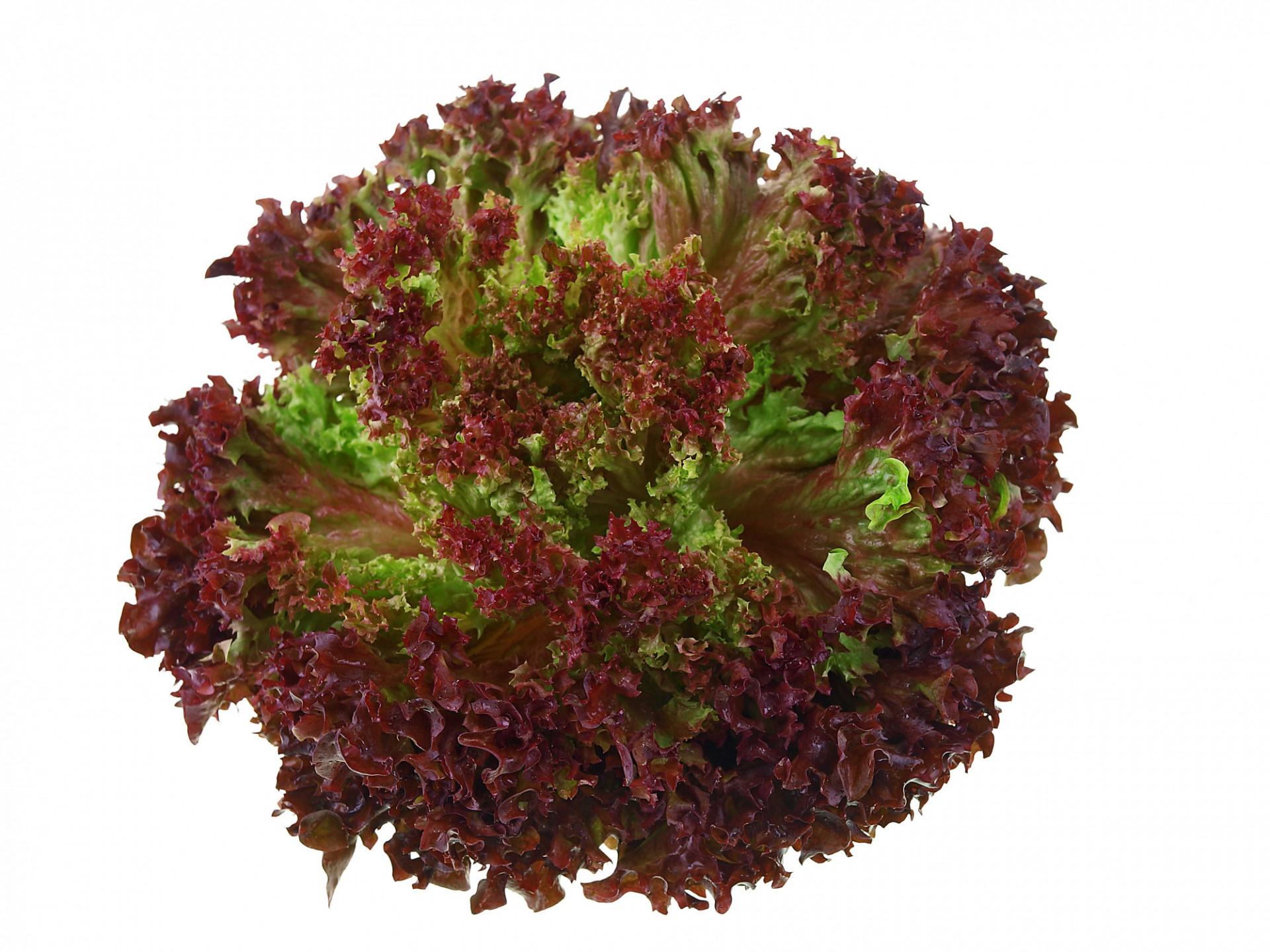 Salade Laitue Lollo Rossa